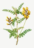Flor de Cytisus Wolgaricus amarilla