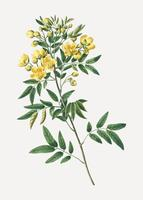 Argentine senna plant