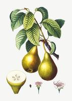 Peras en una rama