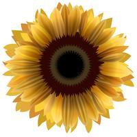 Illustration of sunflower isolated on white background