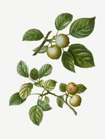 Frutos de crabapple europeos