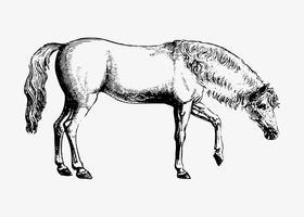 Dessin à l'ombre d'un cheval arabe