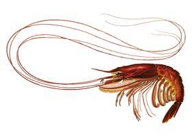 Shrimp in vintage style