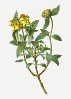Fleurs de sauge de Jérusalem