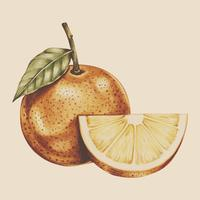 Illustration av tropisk frukt akvarell stil