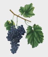Lacrima grapes from Pomona Italiana illustration