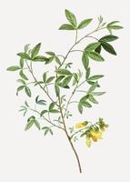 Flores de trébol de frijol tintineo