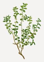Cape Myrtle Plant