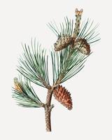 Ramo di albero di pino