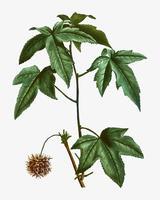 Rama de un árbol sweetgum