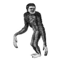 Vintage illustrations of Black long-armed gibbon
