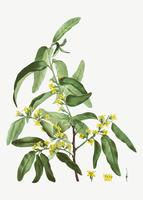 Blooming Russian olive