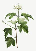 Blooming Guelder-rose