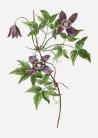Blooming Alpine Clematis flowers vector