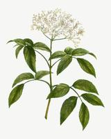 Holunderblütenbaum