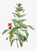 Hardy Fuchsia blommor