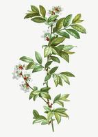 Floreciente Vaccinium amoenum