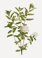 Bog labrador tea plant