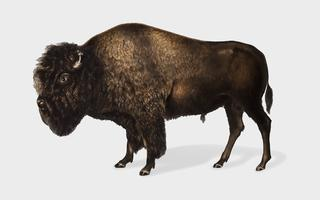 Amerikanische Bisonillustration