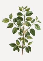 Common buckthorn branch