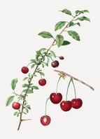 Cherry tree branch