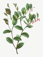 Floración de Andrómeda Axillaris
