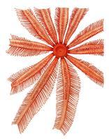 Brisingidae sjöstjärna