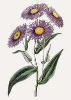 aspen fleabane daisy