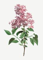 Chinese lilac