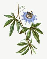 Flor azul pasionaria