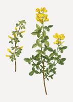 Flores comunes del citisus