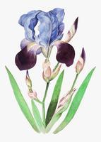 Iris viola in stile vintage
