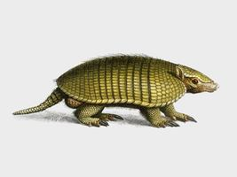 Yellow armadillo (Euphractus sexcinctus) illustrated by Charles Dessalines D' Orbigny (1806-1876). Digitally enhanced from our own 1892 edition of Dictionnaire Universel D'histoire Naturelle.