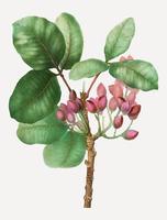 Árvore de pistache