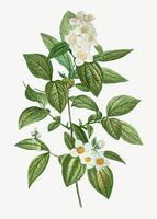 Blooming Philadelphus Coronarius