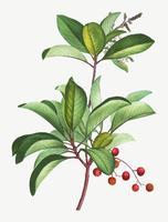 Grekisk jordgubbsträd