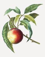 Persika fruktträd