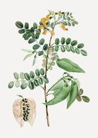 Planta de senna
