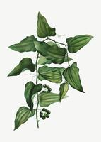 Planta de smilax