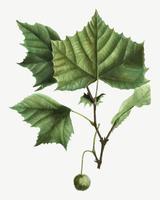 Árvore Sycamore americano