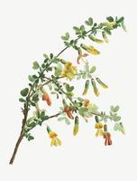 Blühender Robinia Chamlagu