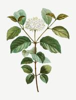 Common dogwood flower