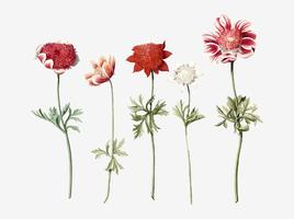 Five Studies of Anemones by an anonymous artist (c.1760-c.1770). Original from Rijks museum. Digitally enhanced by rawpixel.