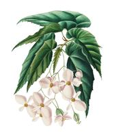 Begonia (Begonia incarnata) illustrerad av Charles Dessalines D 'Orbigny (1806-1876). DDigitally förbättrad från vår egen 1892 upplaga av Dictionnaire Universel D'histoire Naturelle.