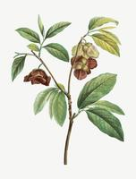 Papaw tree branch