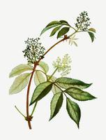 Flor de sabugueiro vermelho