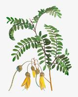 Fioritura Sophora tetraptera