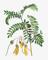 Blühende Sophora Tetraptera