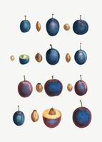 Stages of a plum
