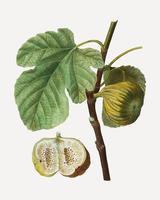 Figs on a tree